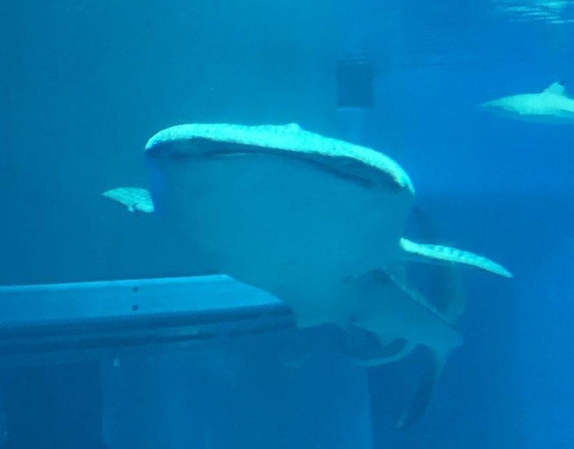 海遊館のジンベエザメ