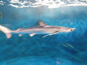 仙台うみの杜水族館ヨシキリザメ