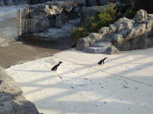 葛西臨海水族園フェアリーペンギン